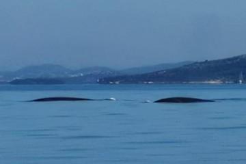 Splićani snimili kitove: 'Nikada ih nisam vidio, divan osjećaj!'  - video