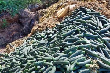 TUŽAN PRIZOR IZ PODRAVINE: Zbog jeftinog uvoznog povrća, domaći proizvođači svježe ubrane krastavce BACILI U OTPAD!