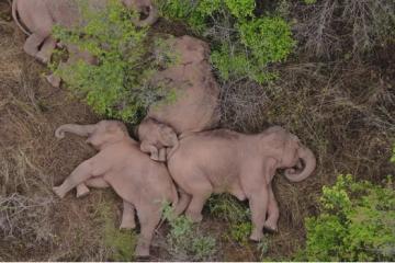 Krdo slonova zajedno je zaspalo nakon 500 km hodanja
