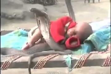 Video šokirao svijet - Bebu čuvaju četiri smrtonosne kobre!
