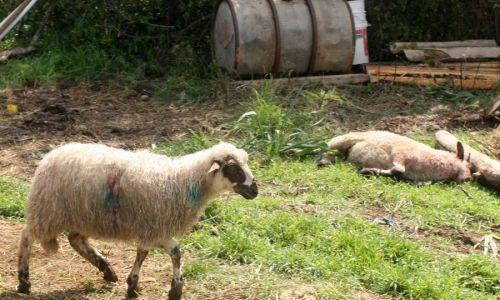 Čopor vukova u štali poklao 87 ovaca, šteta je ogromna; stočari očajni: Vuka treba ukloniti s liste ugroženih divljih životinja